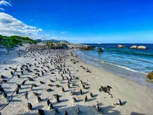 Day Tour To Visit The Penguins Boulders Beach Simons Town